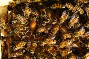 Taller d'insectes socials